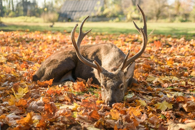 Beau cerf couché sur les feuilles qui tombent dans la forêt.