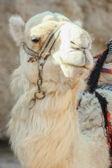 Beau chameau sur la nature près de la mer egypte