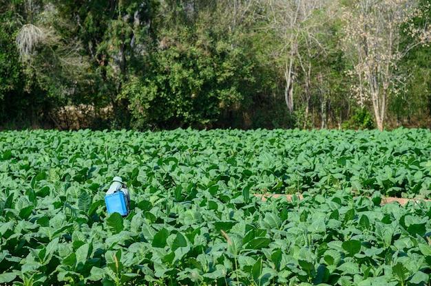 Beau champ d'arbres de tabac avec des agriculteurs injectent des plants de tabac.