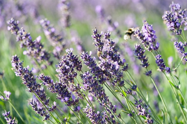 Beau champ d'été avec gros plan de fleurs de lavande