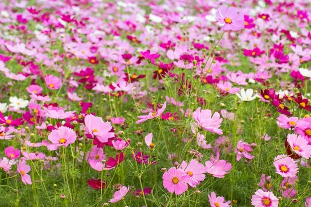 Beau champ de fleurs de cosmos pour le fond