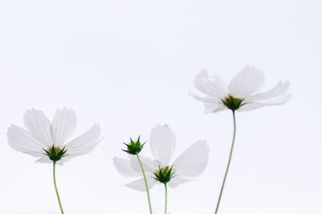 Beau champ de fleurs cosmos rose et blanc de flou artistique