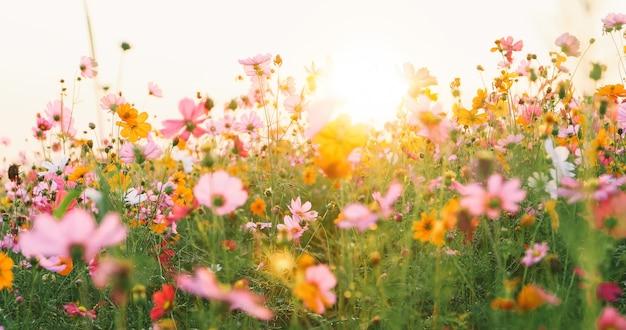 Beau champ de fleurs cosmos