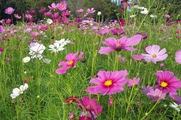 Beau champ de fleurs de cosmos