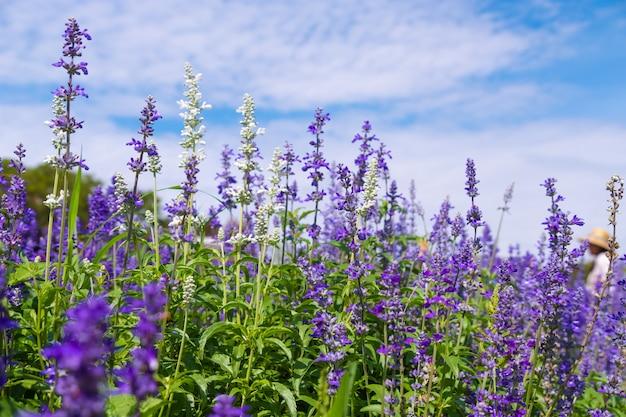 Beau champ de fleurs en fleurs pourpre salvia (sauge bleue) dans le jardin extérieur.