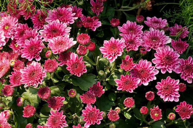 Beau champ de fleurs de gerbera violet dans le jardin