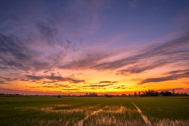 Beau champ de maïs dans beaux nuages moelleux avec fond de coucher de soleil du soir.