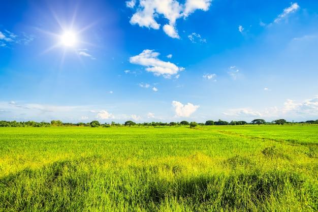 Beau champ de maïs vert au coucher du soleil