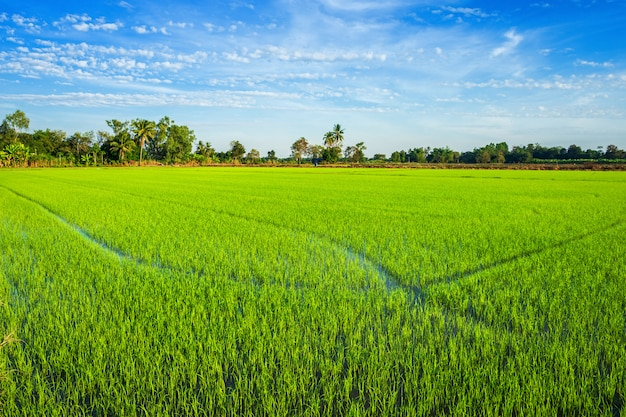 Beau champ de maïs vert avec ciel de nuages moelleux.