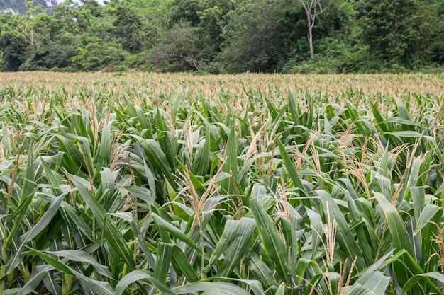 Beau champ de maïs.