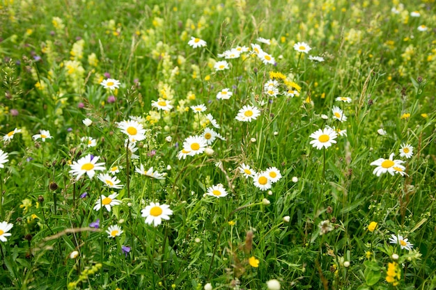 Beau champ de prairie avec des fleurs sauvages. printemps