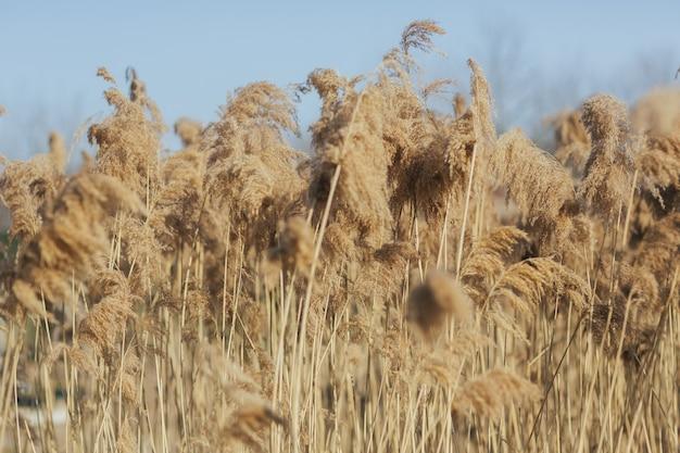 Beau champ de roseaux d'herbe