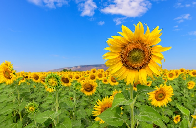 Beau champ de tournesols en été avec un ciel bleu