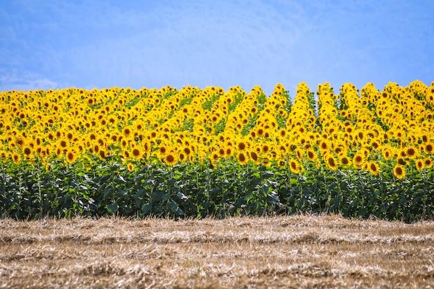 Beau champ de tournesols par une journée ensoleillée. alava, pays basque, espagne