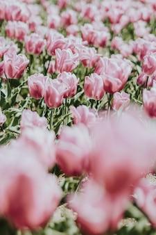 Beau champ de tulipes roses en fleurs