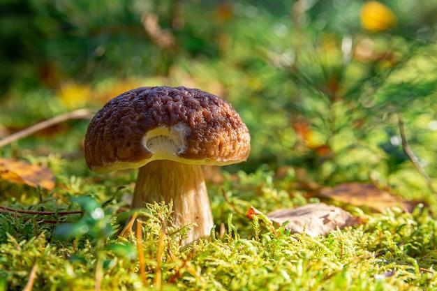 Beau champignon blanc au soleil du matin