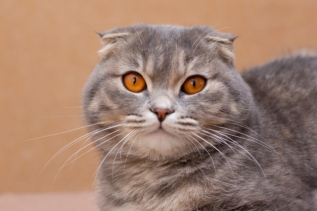 Beau chat adulte gris pelucheux, race scottish-fold, portrait très rapproché