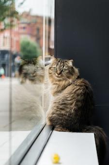 Beau chat de birmanie près de la fenêtre