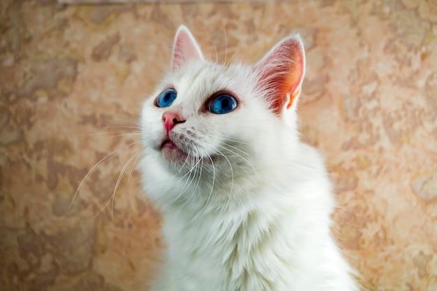 Un beau chat blanc aux yeux bleus regarde de près