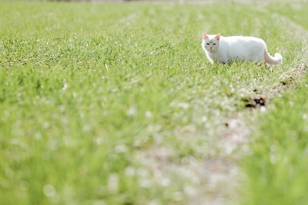Beau chat blanc avec une drôle de tête marchant sur l'herbe verte dans le domaine