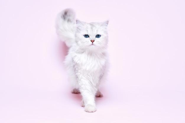 Beau chat blanc moelleux sur fond rose.