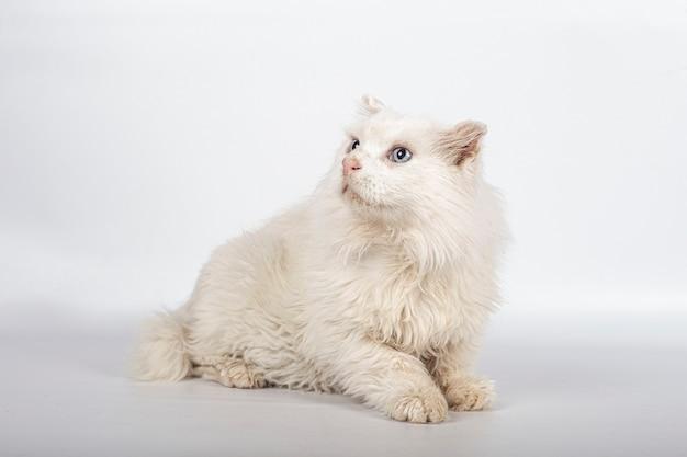 Beau chat blanc pour adoption sur fond blanc avec espace copie.
