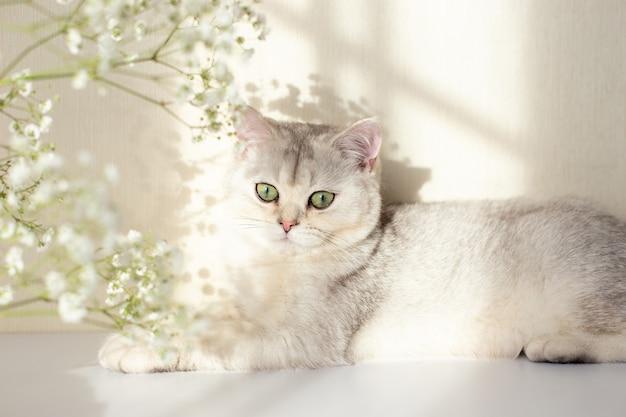 Un beau chat britannique blanc et gris yeux verts se trouve sur un tableau blanc avec une fleur de gypsophile dans