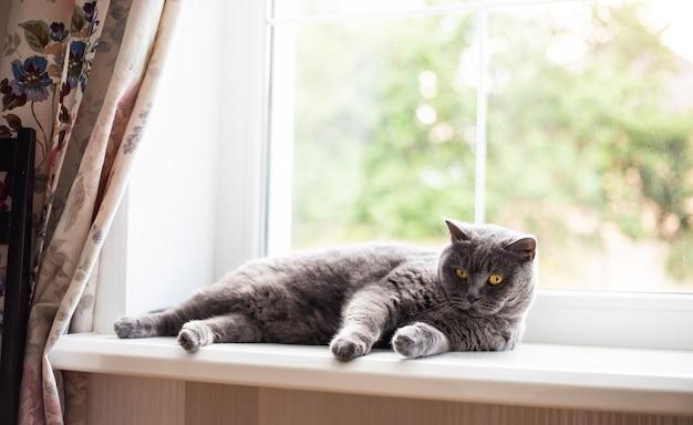 Beau chat britannique à poil court moelleux allongé sur le rebord de la fenêtre et se détendre