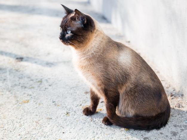 Le beau chat brun, siamois, aux yeux bleus