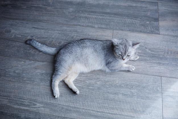 Un beau chat duveteux gris se trouve sur un stratifié. le concept d'animaux de compagnie.