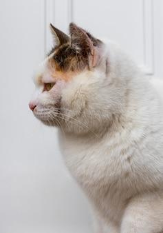 Beau chat à fourrure blanche