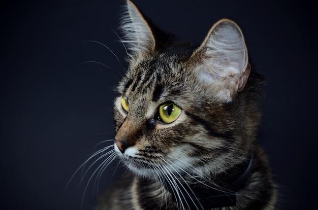 Beau chat gris aux yeux jaunes