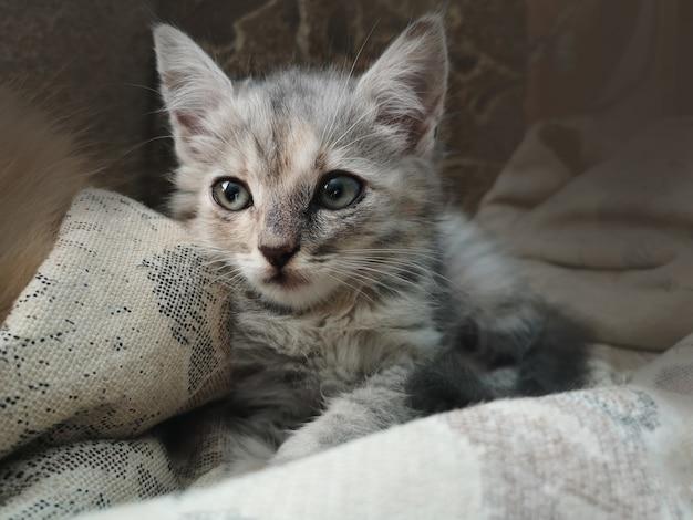 Beau chat gris et blanc au repos à la maison
