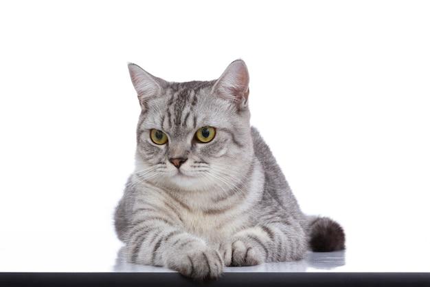 Beau chat gris isolé sur un blanc