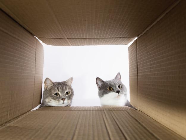 Beau chat gris, jette un coup d'œil dans la carobka en carton, un animal curieux vérifie les endroits intéressants. copiez l'espace.