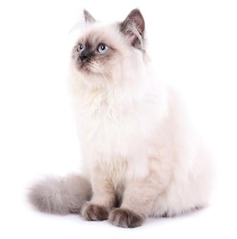 Beau chat isolé sur blanc