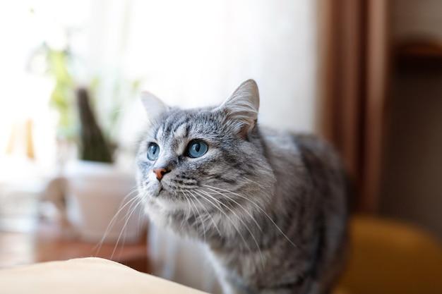 Beau chat moelleux à la maison.