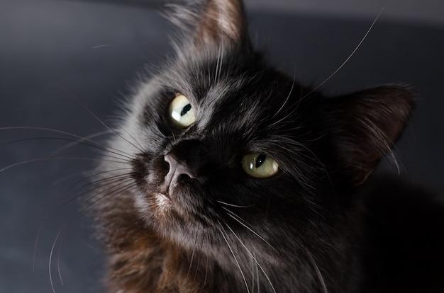Beau chat noir moelleux aux yeux jaunes