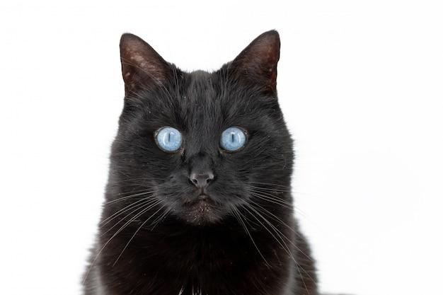 Un beau chat noir pose sur fond blanc