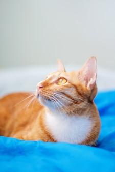 Beau chat rouge couché dans une pièce