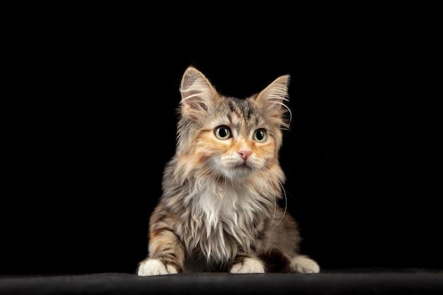Beau chat sibérien fixant isolé sur noir. flyer pour annonce, design.