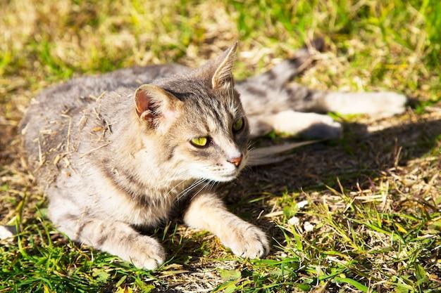 Beau chat tigré dans la prairie fleurie. le chat se prélasse au soleil du printemps. beau chat européen dans l'herbe
