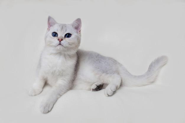 Beau chaton britannique blanc se trouve sur une couverture tricotée beige