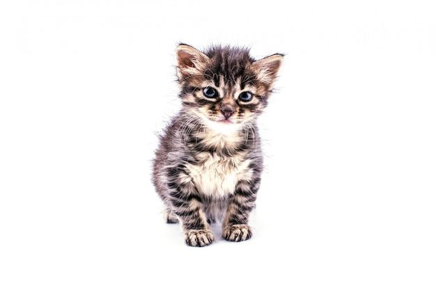 Beau chaton tabby moelleux avec de grands yeux bleus