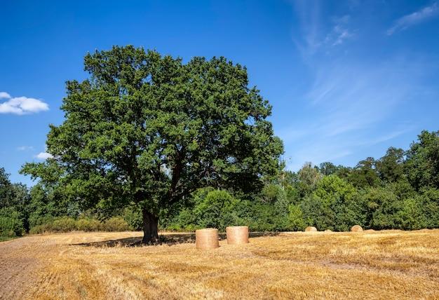 Beau chêne vert et paille dorée après la récolte du grain de blé