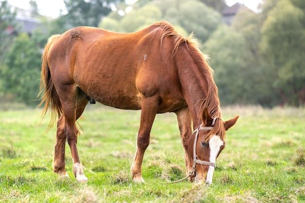 Beau cheval alezan paissant dans le champ d'été des prairies vertes.