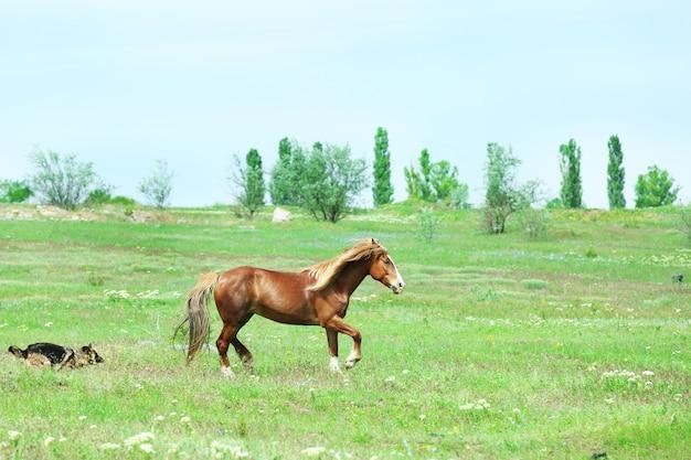 Beau cheval brun frôlant sur le pré