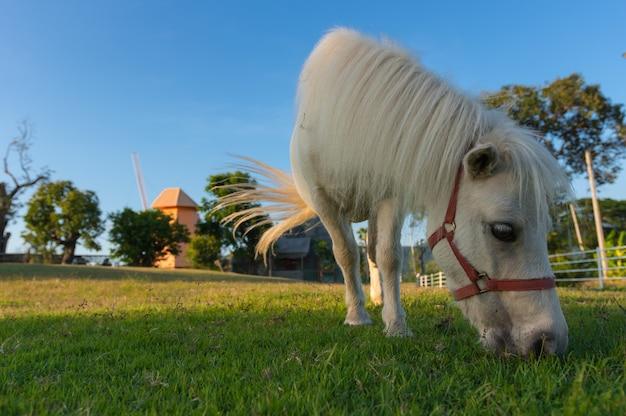Beau cheval nain.