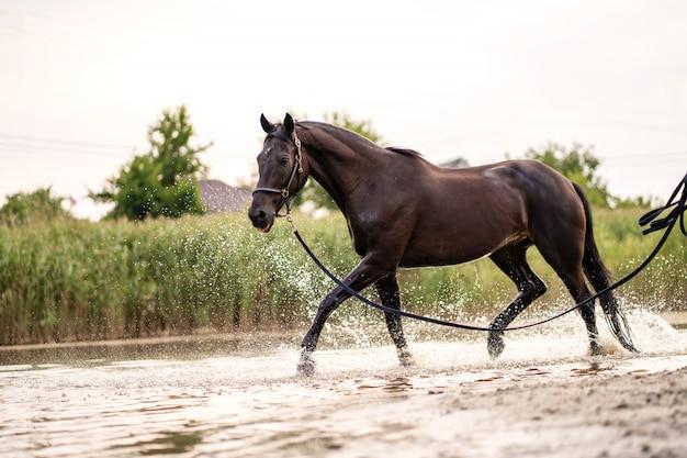 Beau cheval noir bien entretenu pour une promenade au bord du lac. un cheval court sur l'eau. force et beauté