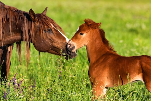 Beau cheval poulain avec mère